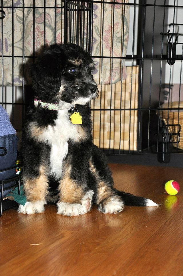 Bernedoodle Wikipedia Bernedoodle Dog Breeds Bernedoodle Puppy