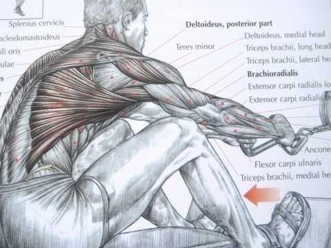 Bodybuilding back exercises and anatomy   Workouts   Pinterest ...