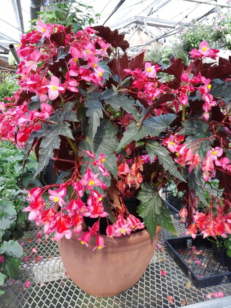 Angel Wing Begonia Basket They Grow On Upright Stems With Interesting Leaves And Magnificent Displays Of Pendant And Drooping Flowers Bunga