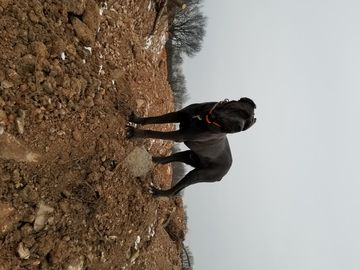 Cane Corso dog for Adoption in IMPERIAL, MO. ADN70135 on
