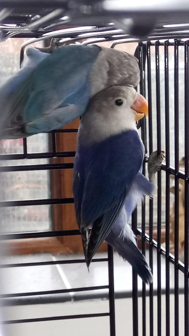 Fishers lovebirds For Sale in Wales, Powys Preloved