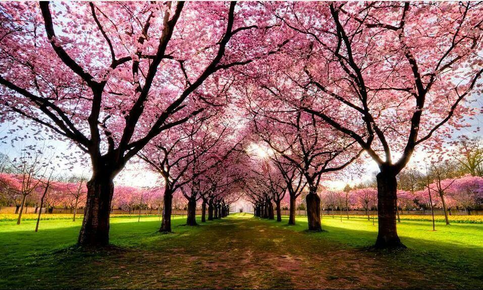Pretty Pink Trees Tree Photography Beautiful Tree Blossom Trees