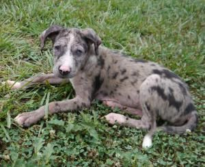 Adopt Kyra On Great Dane Mix Great Dane Puppy Adorable Cute