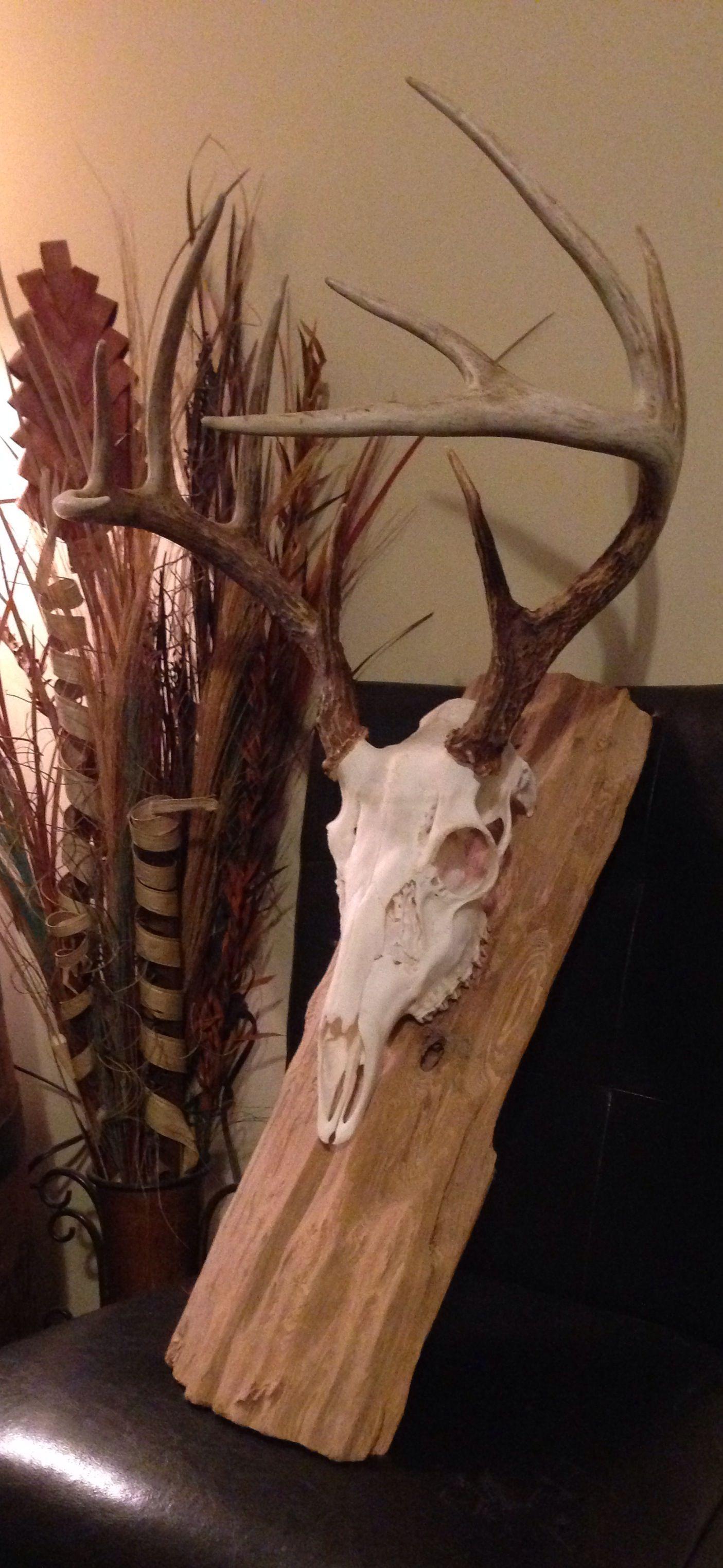 Deer skull mount ideas - Whitetail Deer European Mount On Drift Wood