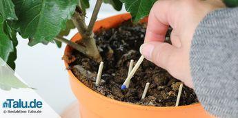 kleine fliegen in der blumenerde schnell loswerden hausmittel pinterest pflanze fliegen. Black Bedroom Furniture Sets. Home Design Ideas