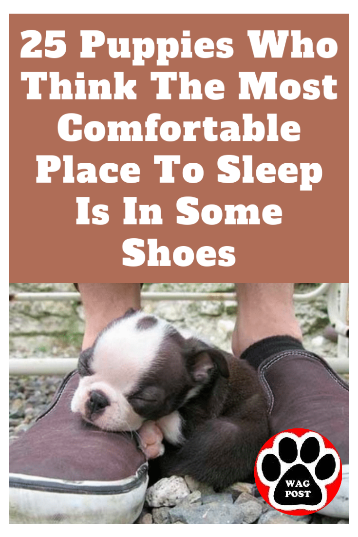25 Puppies Who Think The Most Comfortable Place To Sleep Is In Some Shoes Sleeping Puppies Puppies Cute Dogs