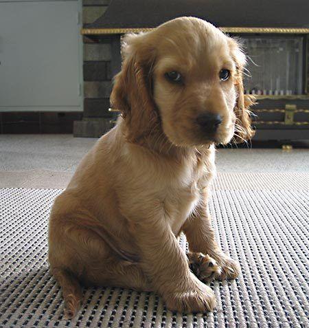 My Heart Hurts I Want One Soooo Bad Cocker Spaniel Puppy