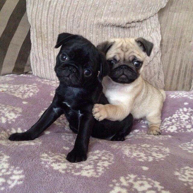 Awesome Pugs Tumblr Baby Pugs Cute Pugs Pugs
