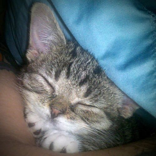 Lil Bub 6 Weeks 6 Ounces Kitten Serious Cat Kittens Cutest Super Cute Animals