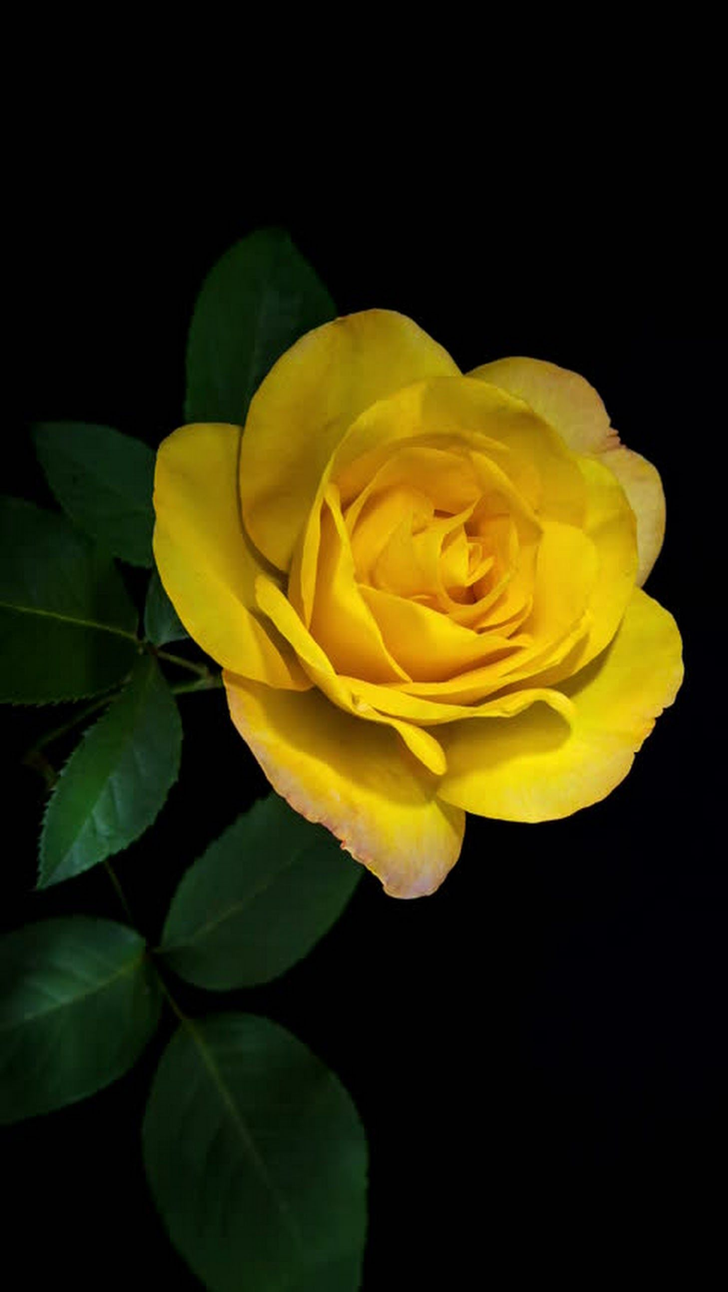 Sign In Yellow Roses Flower Wallpaper Red Roses Wallpaper