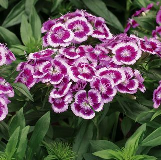 Dwarf Sweet William Barbarini Purple Picotee Dianthus Barbatus Flowers Little Plants