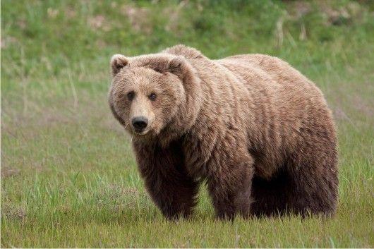 الدب الأسود الأمريكي Bear Pictures Brown Bear Bear Species
