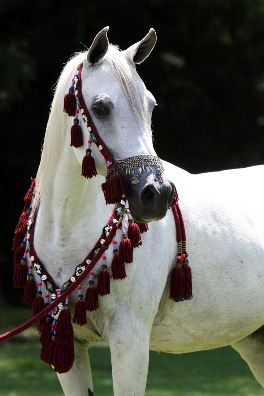 Portrait Most Beautiful Horses Beautiful Arabian Horses Horses