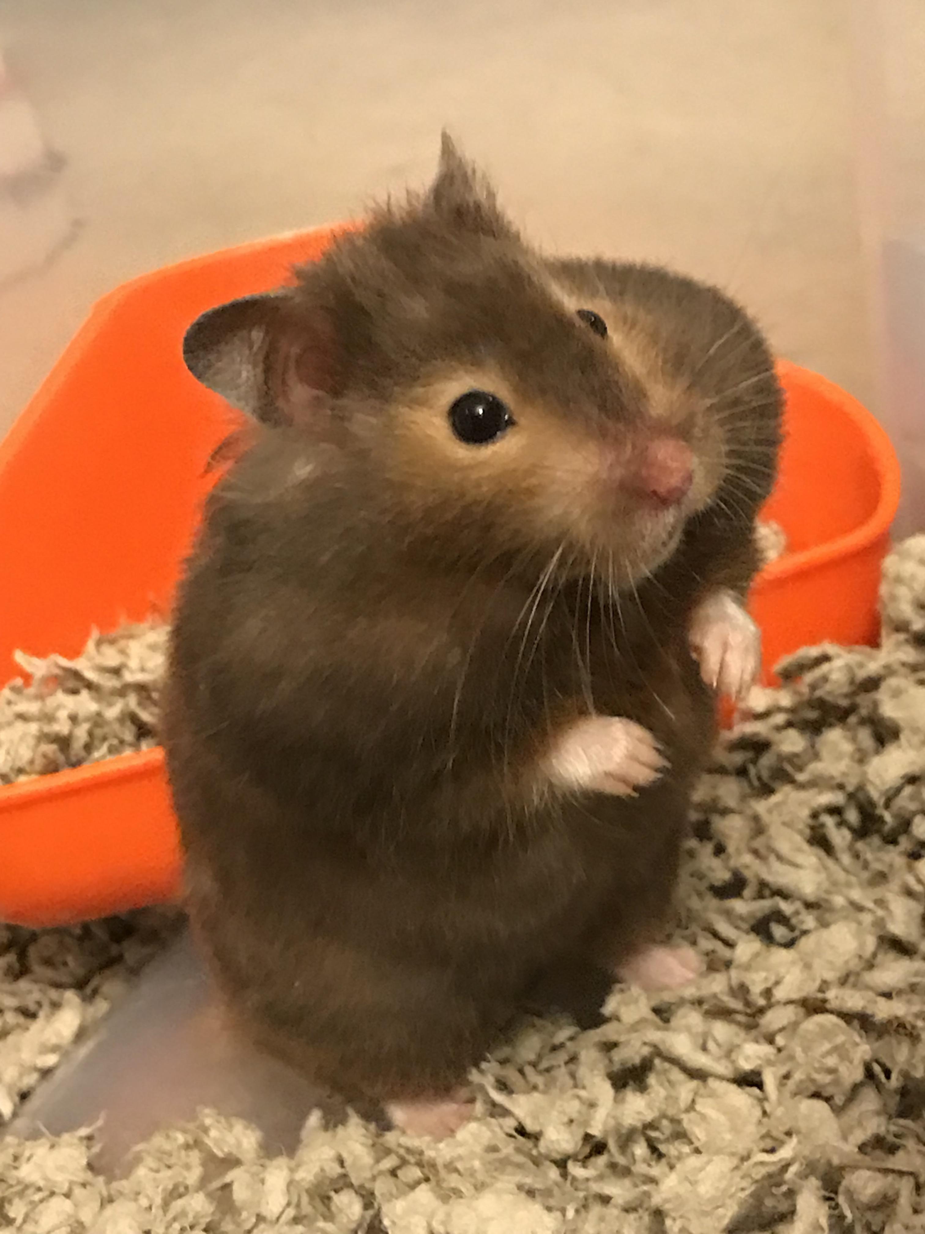 Pin By Youtube83 On Hammie Bear Hamster Hamster Best Teddy Bear