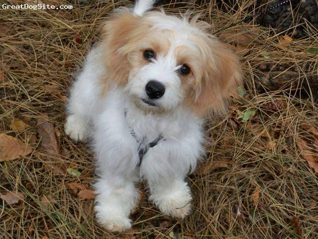Cavachon Cavalier King Charles Spaniel Bichon Mix Cavachon Cavalier King Charles Spaniel Mutt Dog