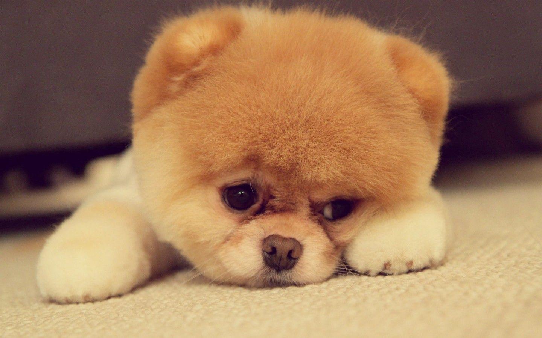 Pomsky Cute Animals Boo The Dog Cute Pomeranian