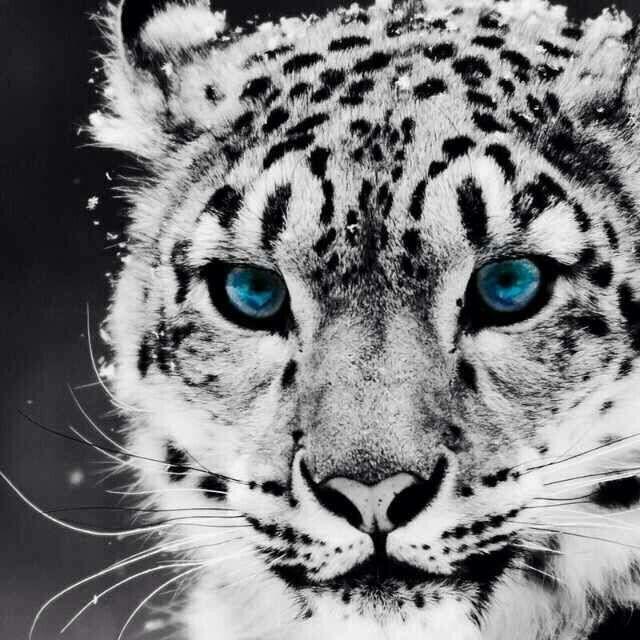 Ein Schnee Leopard Animals Pinterest Animals Leopards And