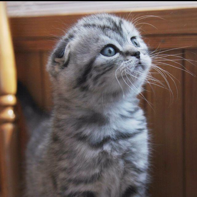 Grey Scottish Fold Kitten. LOVE. Scottish fold kittens