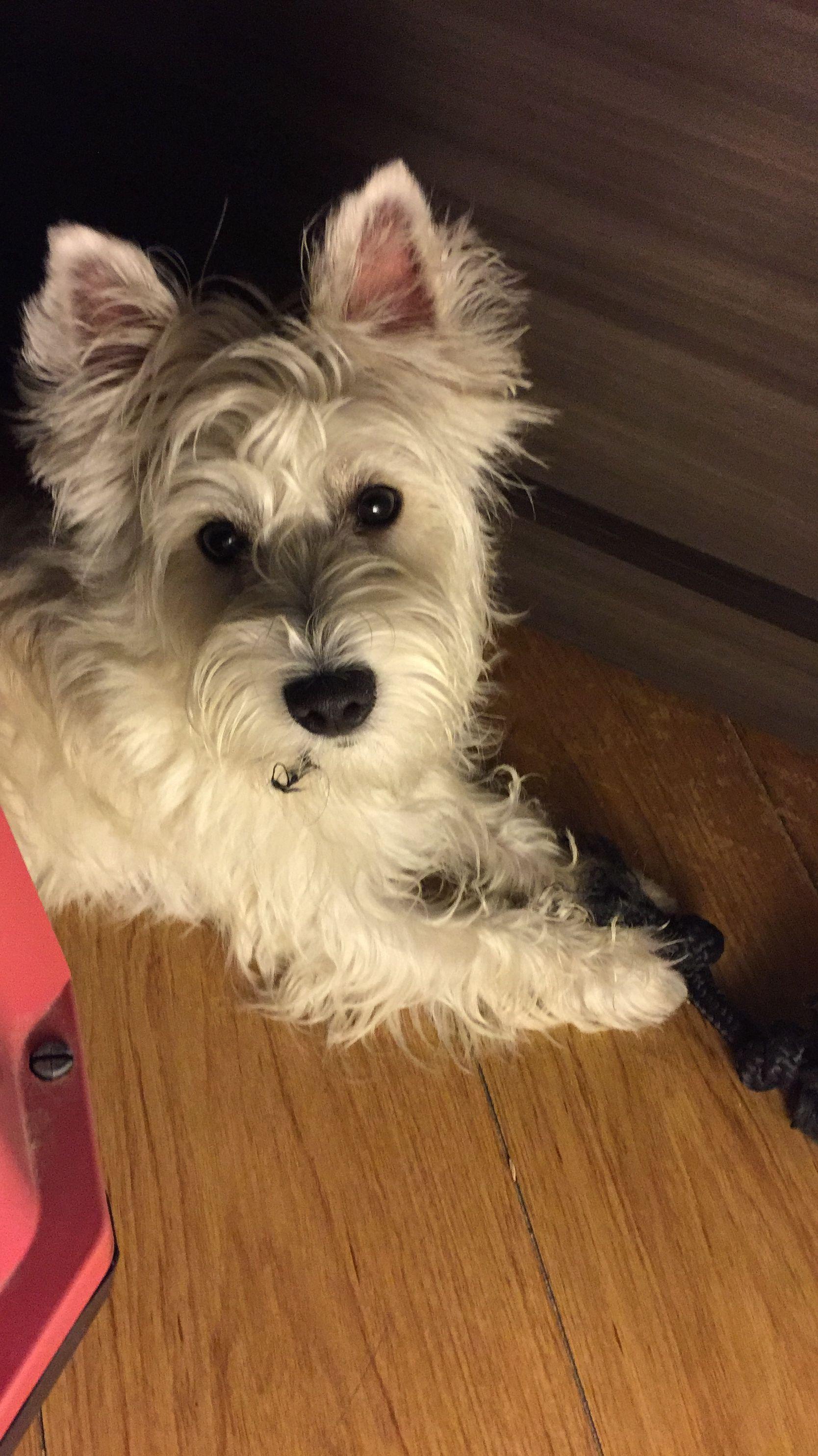 Renzo 07 03 2017 Westies Westie Highland White Terrier White