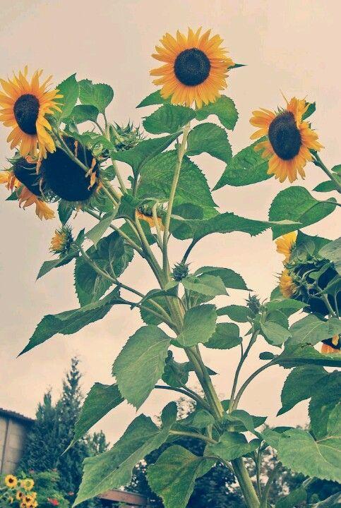 Sunflowers (photo by Nejla Karatas)