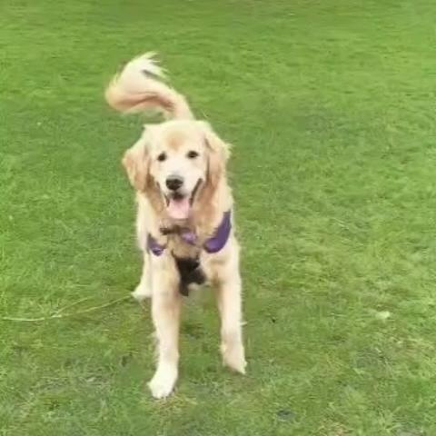 (🔊on)! Sawyer bringing #disco and smiles back!  #SawyerTheGoldenGuide #OnlyInScotland #Edinburgh #VisitScotland #EdinburghWalkingTours