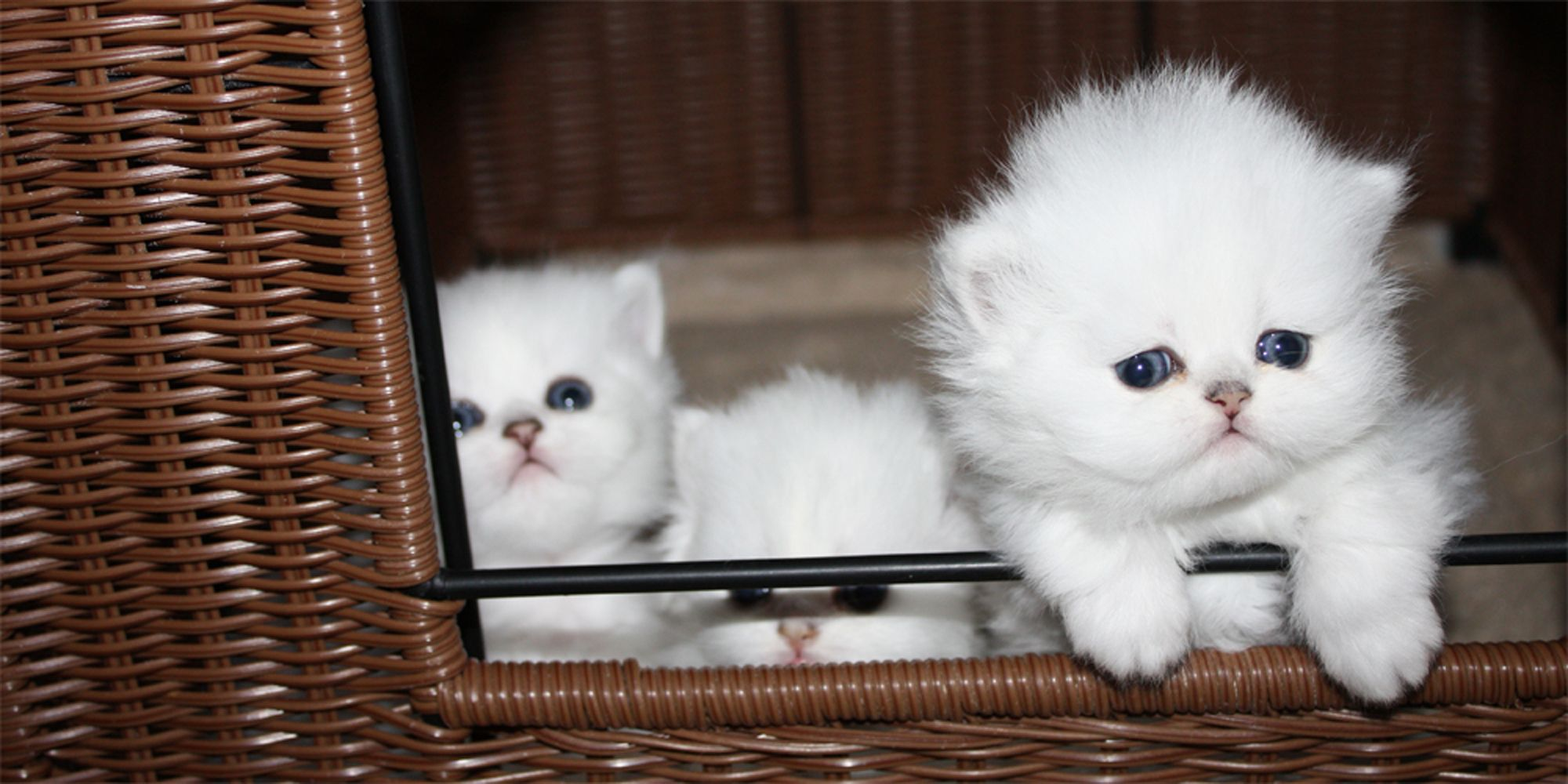 Teacup Persian Kittens For Sale In Central Florida Teacup Persian Kittens Persian Kittens For Sale Persian Kittens