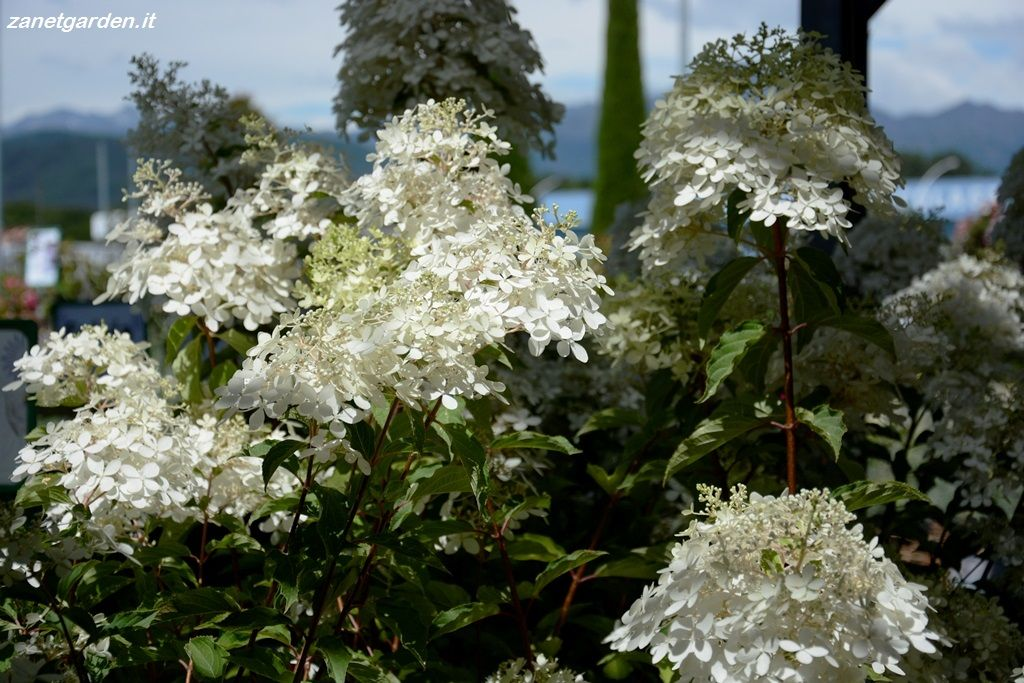 hydrangea paniculata phantom piante da giardino pinterest hydrangea paniculata and hydrangea. Black Bedroom Furniture Sets. Home Design Ideas