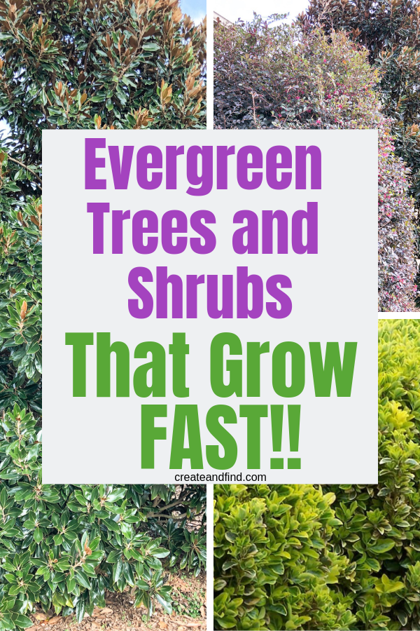 7 Fast Growing Evergreen Trees And Shrubs Evergreen Trees For Privacy Evergreen Trees Landscaping Fast Growing Evergreens