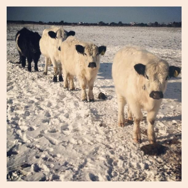 Cows in winter - FARM Institute, Martha's Vineyard