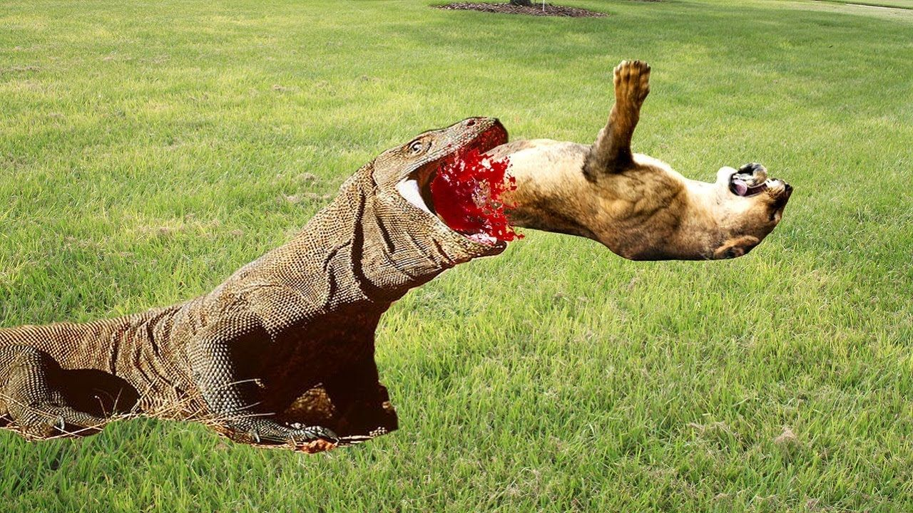 The Most Infamous Komodo Dragon Attacks of the Past 10 ...
