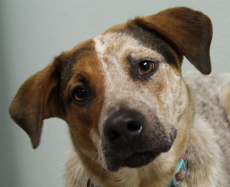 Meet MOLLY, a Petfinder adoptable Australian Cattle Dog (Blue Heeler) Dog   Many, LA   The fee to adopt a dog is $75. This fee includes the spay or neuter surgery, deworming, rabies...