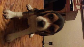 Beagle Puppy For Sale In Sacramento Ca Adn 40631 On Puppyfinder