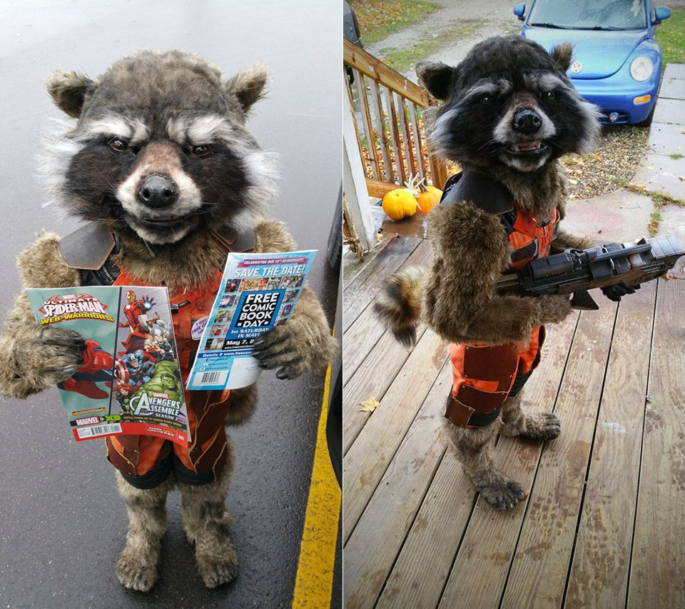Real Rocket Raccoon COSTUME FOLLOW LINK TO ARTICLE (TAG WOW!) & Real Rocket Raccoon COSTUME FOLLOW LINK TO ARTICLE (TAG: WOW ...