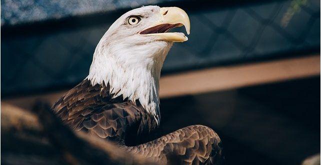 صور نسر خلفيات نسور جميلة احلي صور نسور في العالم موقع حصري Eagle Pictures Eagle Fearless