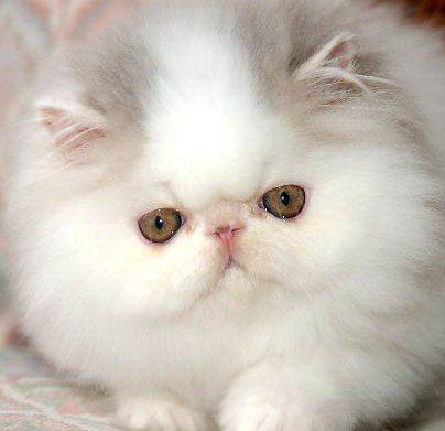 My Persian Kitten Winston Teacup Persian Cats Persian Kittens Cats