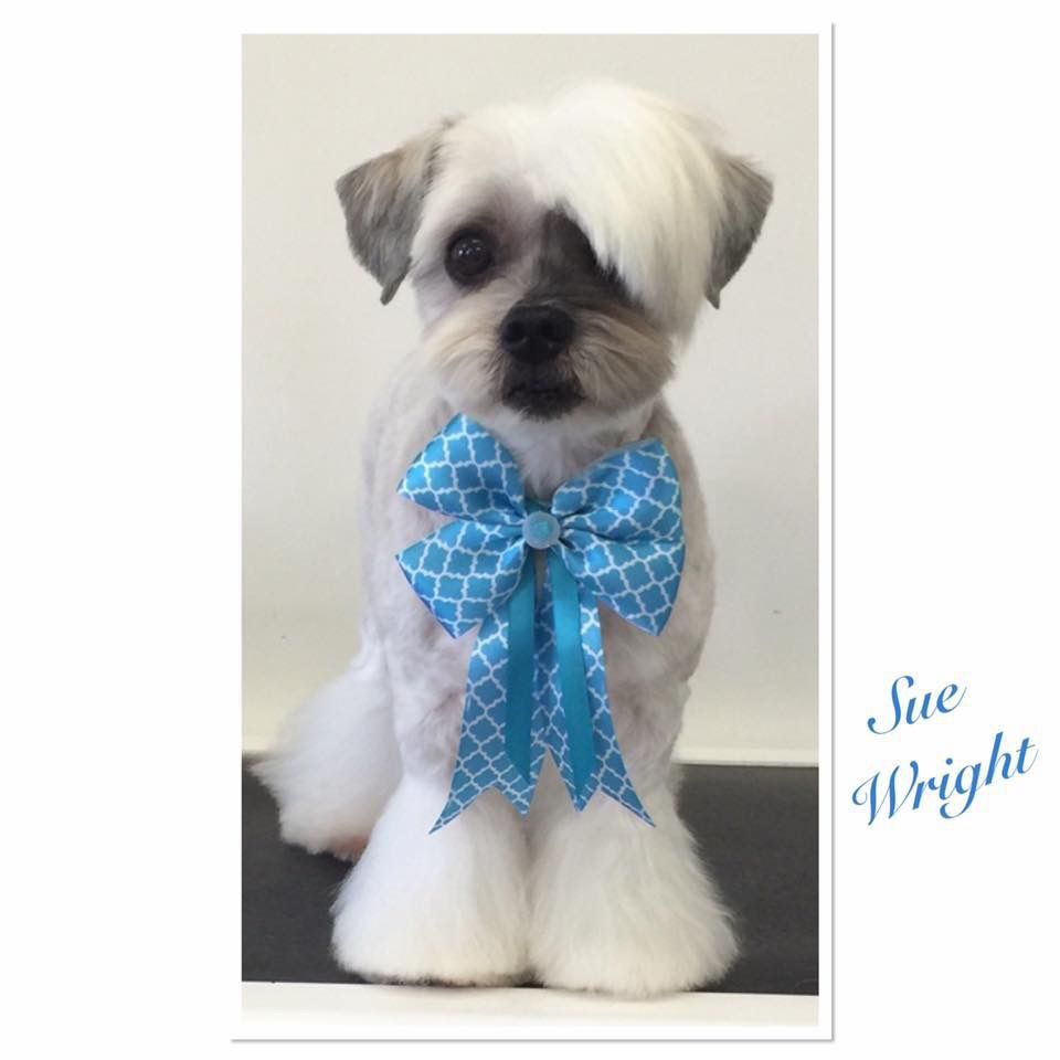 Shih tzu haircut styles asian fusion comb over dog grooming asian influenced maltese x