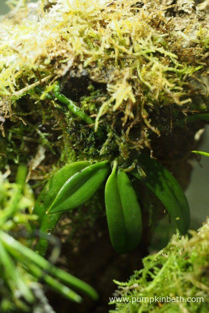White Orchid BiOrbAir Terrarium Trial - Pumpkin Beth