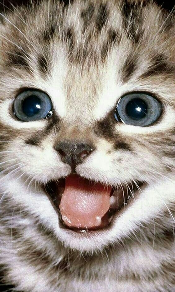Pin by Teresa Clark on Kitty Kat Klub Kittens cutest