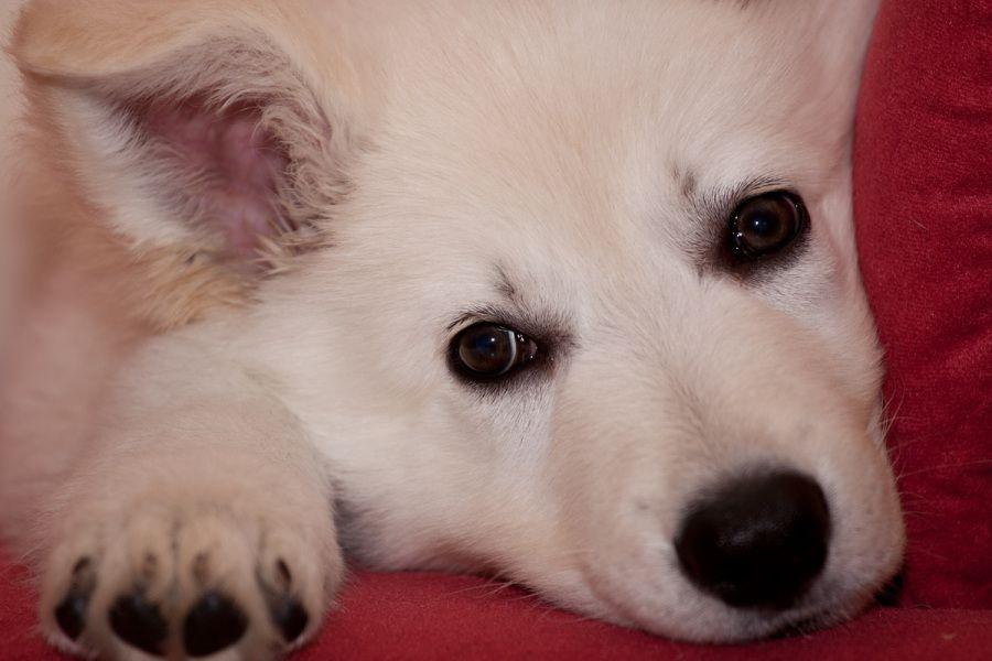 Pin von Karen Yates auf beautiful white shepherds Weißer