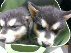 2 Male Alaskan Malamute Pups For Sale Puppies For Sale Bindoon Western Australia Alaskan Malamut Alaskan Malamute Puppies Malamute Puppies Alaskan Malamute