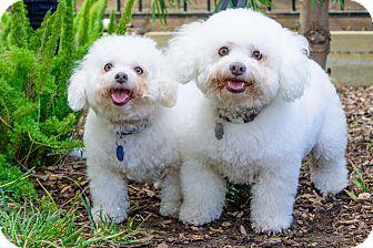 Santa Monica Ca The Forgotten Dog Foundation Poodles