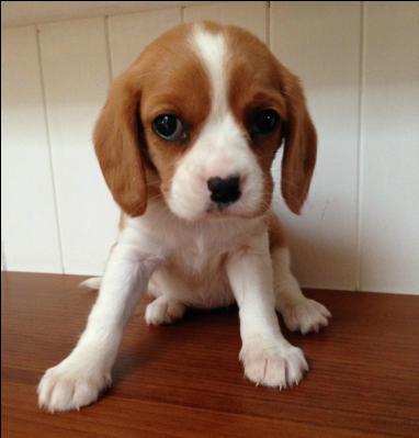 Beaglier King Charles Cavalier Spaniel Puppy Cavalier King Charles Spaniel Beagle Puppy