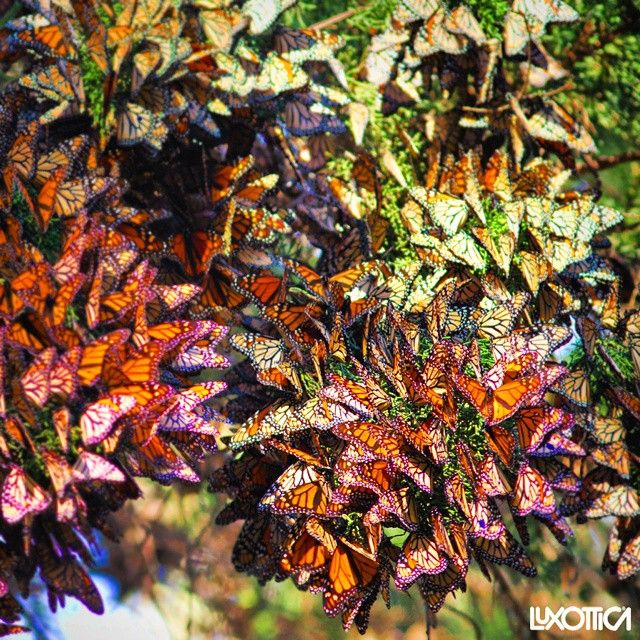#MonarchButterflies gather once a year so when you see them remember to #SeizeTheSight