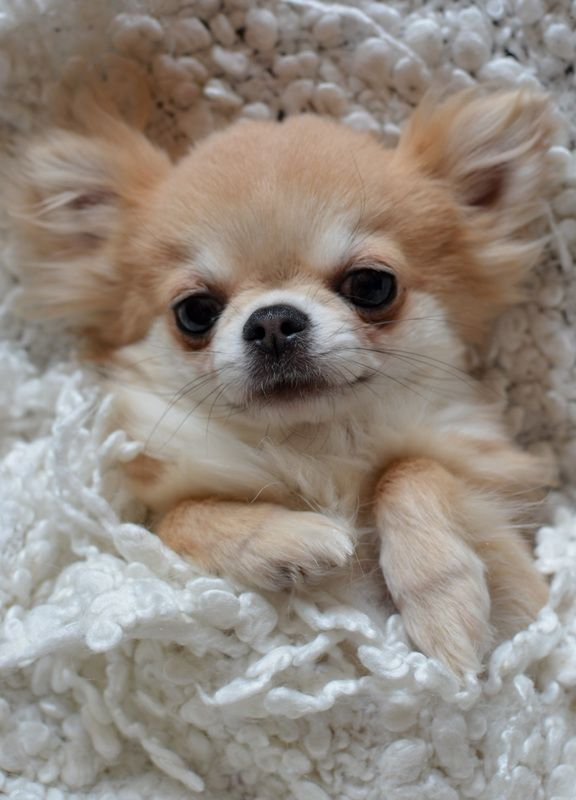 Adorable Diamonds Chihuahua S Welcome Chihuahua Puppies