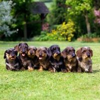 Miniature Wire Haired Dachshund Drakesleat Kennl Owned By Zena