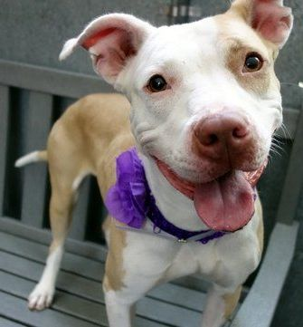 Manhattan Center RUBY – A1050175 FEMALE, TAN / WHITE, AM PIT BULL TER MIX, 1 yr STRAY – ONHOLDHERE, HOLD FOR RTO Reason STRAY Intake condition EXAM REQ Intake Date 09/03/2015 http://nycdogs.urgentpodr.org/ruby-a1050175/