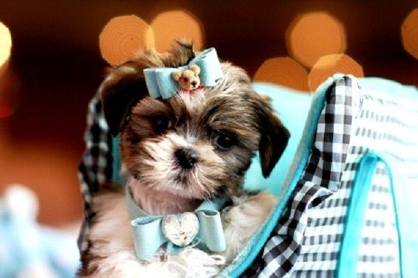 Teacup Puppies For Sale In San Antonio Zoe Fans Blog Teacup