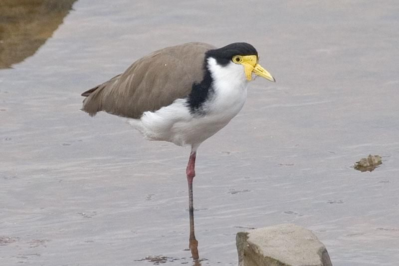Masked Lapwing (Vanellus miles) Standing on one leg in the water. Note the small lappet, the black shoulder and the large black crown.