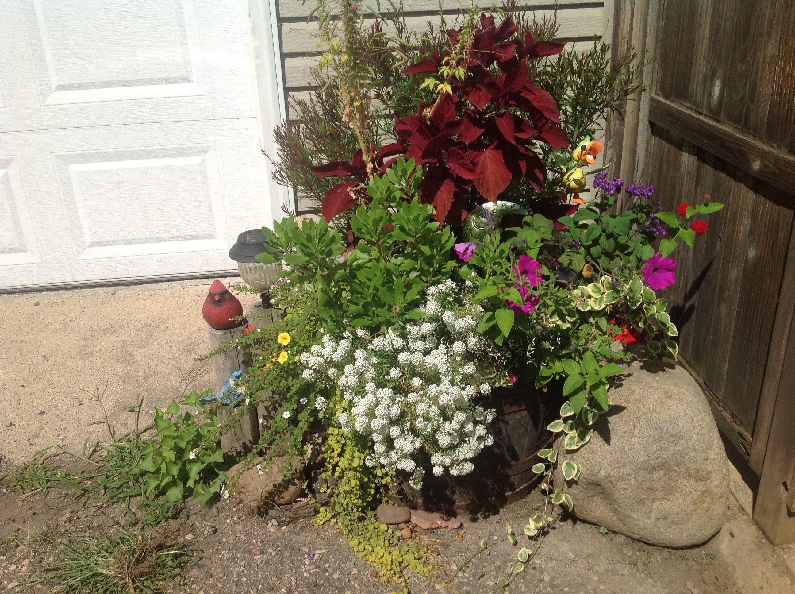 My Whiskey Barrel. 2014 Aug. | Whiskey barrel, Plants, Barrel