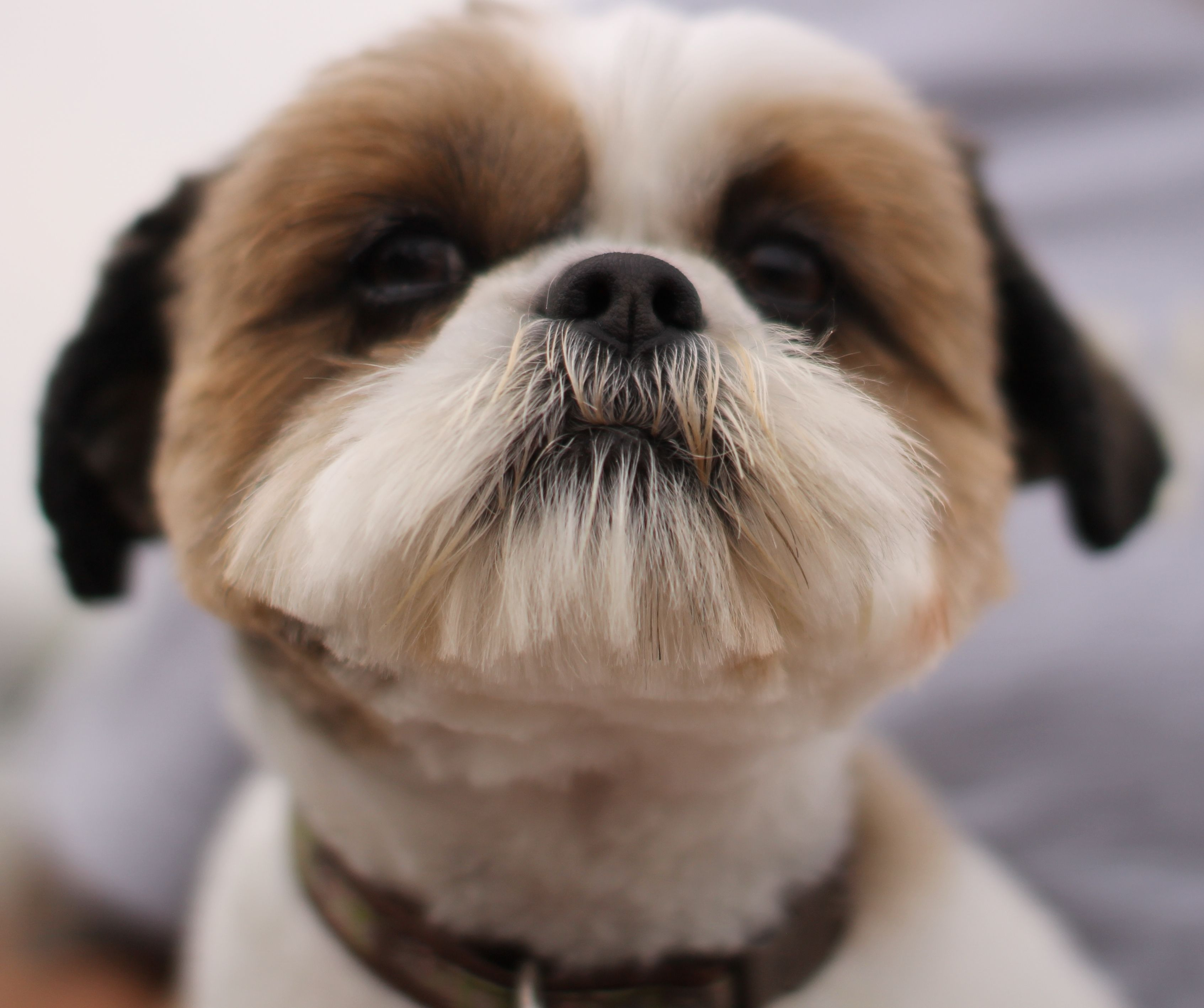 KISS ME! Therapy dogs, Shih tzu puppy